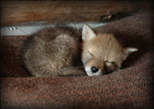 coyote-cub