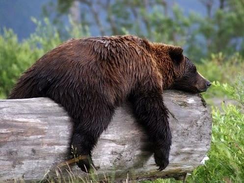 Nature-Bear