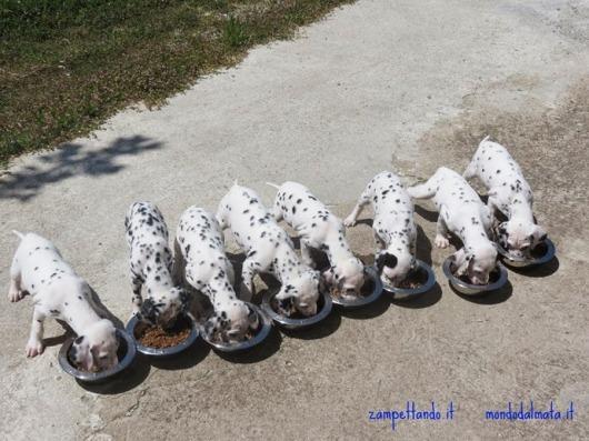 cuccioli dalmata che mangiano vendita zampettando
