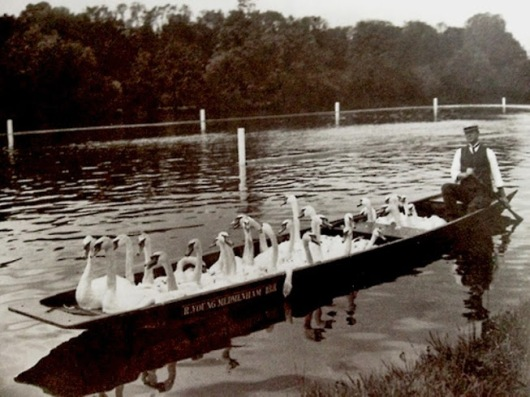 57Swans are removed from a stretch of the River Thames