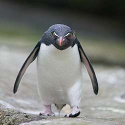 angry-penguin
